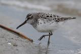 Bécasseau falcinelle - Broad-billed Sandpiper