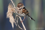 Bruant des roseaux - Reed Bunting