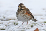 Grive mauvis - Redwing