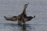 Plongeon arctique - Black-throated Diver