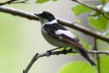 Gobemouche à collier - Collared Flycatcher