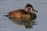 Fuligule à bec cerclé - Ring-necked Duck