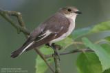 Gobemouche noir - Pied Flycatcher