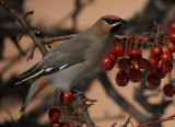 Medium-Sized Land Birds