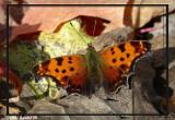 Polygone à taches vertes - Polygonia faunus