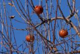 Pommes d'hiver - Winter apples