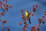 Paruline à couronne rousse (Palm Warbler)