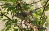 Paruline bleu (Black-throated Blue Warbler)