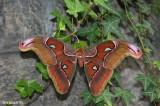 Papillon cobra