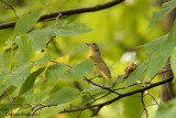Paruline à joues grises (Nashville Warbler)