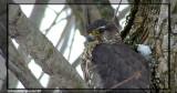 Faucon émerillon (Merlin)