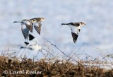 Snow Buntings on the Move