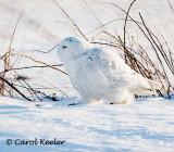 Snowy Takes a Stroll