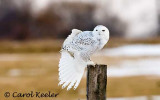 Snowy Owl Ballet