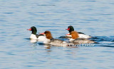 Common Merganser Couples