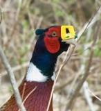 Strange Pheasant