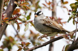 Jump!  White Crowned Sparrow