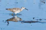Lesser Yellowlegs with Tasty Treat