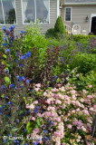 Spirea, Italian Bugloss, and Purple Sandcherry