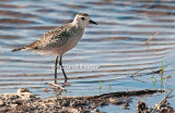 American Golden-Plover in Fall Plumage 2.