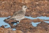American Golden Plover in Winter Plumage.
