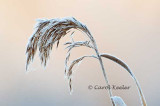 Frosted Phragmites