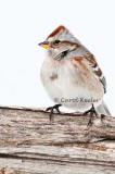 Agitated American Tree Sparrow