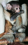 Patas Monkey Baby Being Held Tight