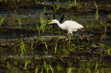 Cattle Egret Foraging