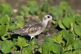 Fall Black-Bellied Plover