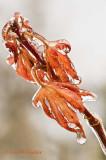 Japanese Maple Leaf on Ice