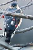 Sharpshin Hawk 1