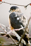 Sharpshin Hawk 3