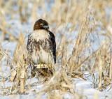Red-Tail Hawk on Corn
