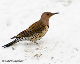 Female Yellow Shafted Flicker