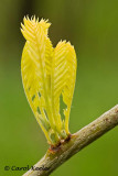 Locust Buds Emerging