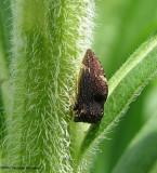 Treehopper (Publilia concava) on goldenrod