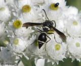 Potter wasp (Eumenes fraternus)