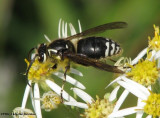 Bald-faced hornets (Family: Vespidae, Subfamily: Vespinae, Species: Dolichovespula maculata)