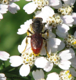 Sweat bee (Sphecodes sp.), female