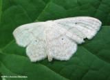 Large lace border (Scopula limboundata), #7159