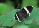 White-striped black (Trichodezia albovittata), #7430