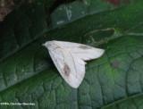 Spotted grass moth (Rivula propinqualis), #8404