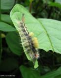 White-marked tussock (Orygia leucostigma) caterpillar