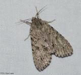 American dagger moth (Acronicta americana), #9200