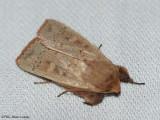 Cutworm moth (Leucania pseudargyria), #10462