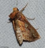 Putnam's looper moth (Plusia putnami), #8950