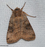 Cutworm moth (Polia purpurissata)  #10280