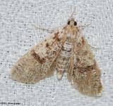 Splendid palpita (Palpita magniferalis), #5226