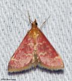 Raspberry pyrausta (Pyrausta signatlis), #5034